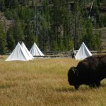 Bison with Tepees - vacation in Yellowstone