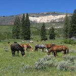 Horses Grazing in the Field - Yellowstone Horseback Riding Trips