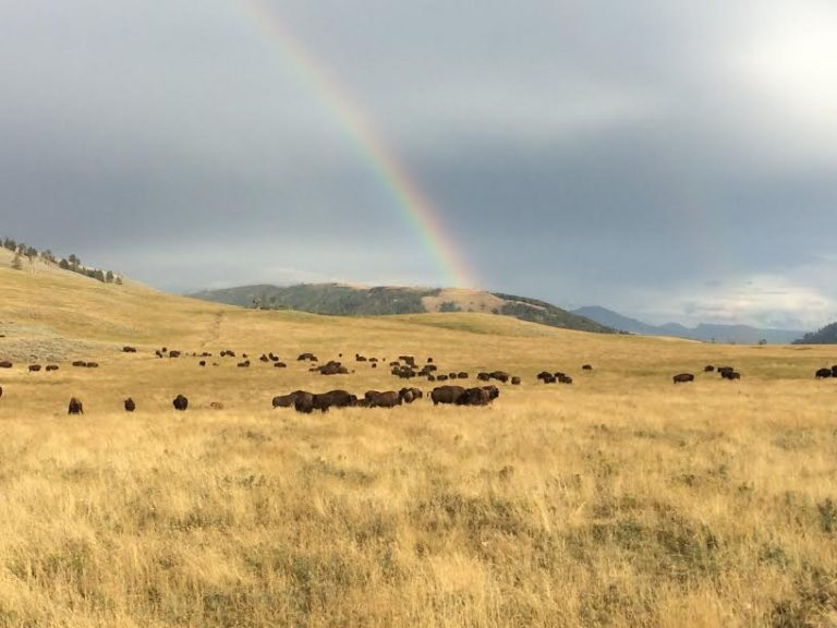 Rainbow Over Field - Bison in Yellowstone